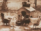 Untitled Farmyard Scene -Dog Watching Chickens