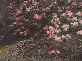 Magnolia Trees Blooming in Spring