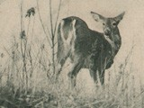 White Tail Deer  (Wild, From Life)