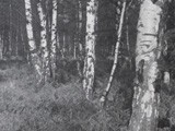 Birch and Bracken