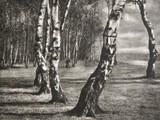 Untitled Study of Birch Trees