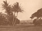Coconut Palm Trees in Park or Garden