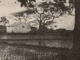 Hawaiian Rice Paddy Landscape