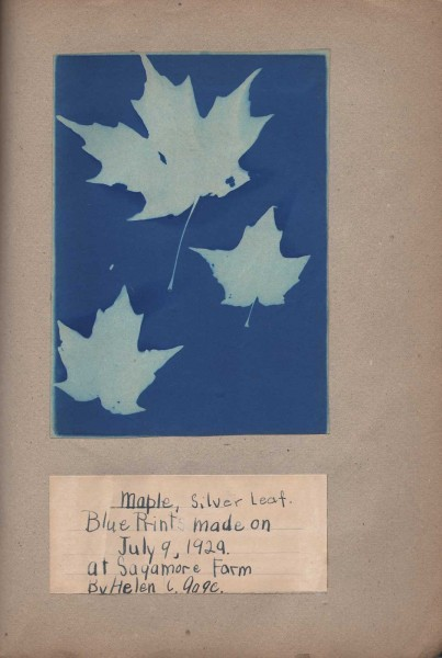 Maple, Silver Leaf